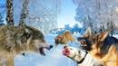 Волк дал отпор целой стае собак. Овчарки, Волкодавы и бойцовские дают дёру