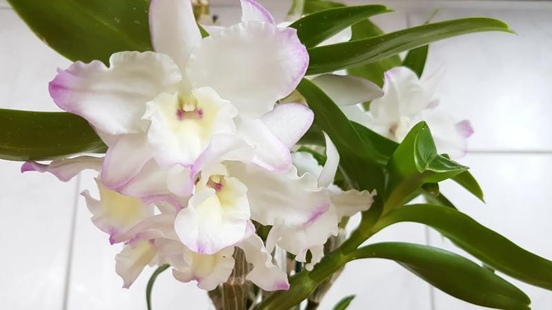66. Мой уход за ДЕНДРОБИУМОМ НОБИЛЕ. Как добиться цветения Dendrobium Nobile в ПОЛИСТИРОЛЕ