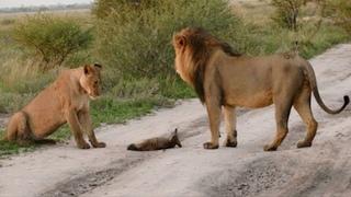 Zwei Löwen nähern sich einem verletzten Fuchs… Danach passiert etwas unerklärliches
