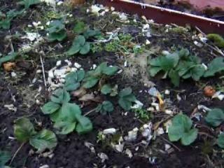 Как обрабатывать клубнику (землянику садовую) весной.