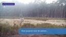 Natuurmonumenten | Wolvin voelt zich thuis op de Zuid-Veluwe