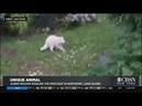 Mysterious Albino Raccoon Steals Spotlight