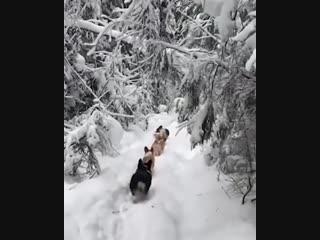 Паровозик из корги путешествует по снегу