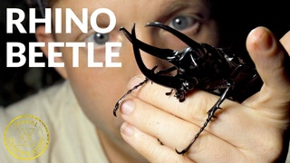 A Gentle Giant? ft. Rhino Beetle