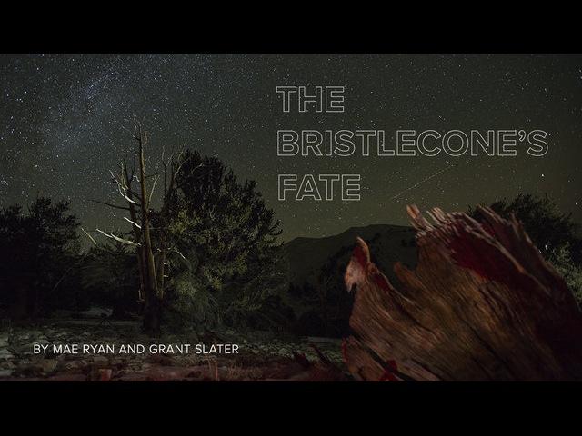 The Bristlecone's Fate