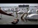 19 сент. 2020 Крым. Озеро Сасык -Сиваш, Евпатория, лебеди.