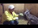 スエトシ牧場 カンガルー 子猫 ラマに子ヤギ モモンガ