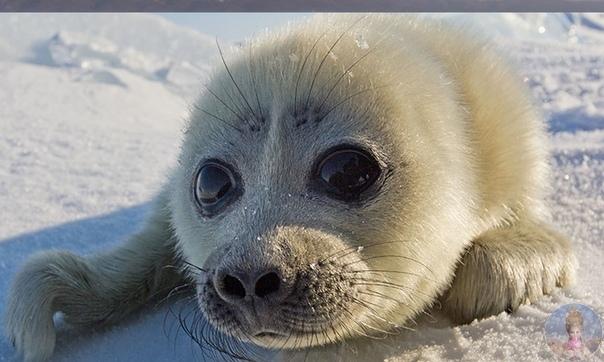 Байкальский тюлень (нерпа)