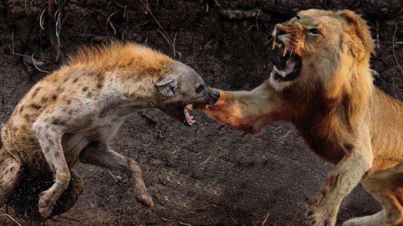 Pertarungan Seru Singa vs Anjing Hutan (Hyena) | Perkelahian Hewan Pemangsa