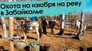 Охота на изюбря на реву в Забайкалье