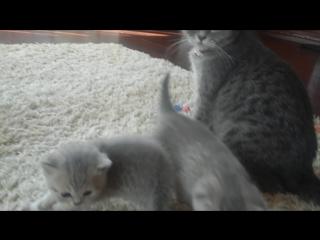 Продаются шотландские котята, недорого.