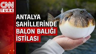 Amatör balıkçılar Antalya'da tehlikeli balon balığı sürüsünü görüntüledi