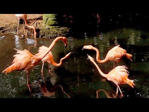 American Flamingos, Florida. フラミンゴ Фламинго Le flamant Φλαμίνγκο El flamenco فلامينغو
