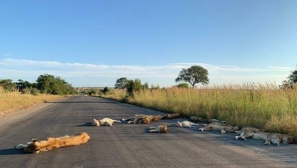 Воспользовавшись отсутствием людей, львы заснули на тёплом асфальте Рано или поздно животные должны были заметить, что люди вокруг исчезли, и они спокойно могут занимать их территорию. Так и