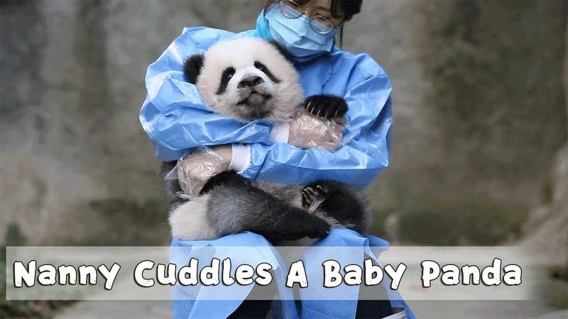 Nanny Cuddles A Baby Panda iPanda