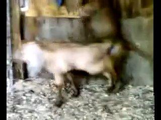 Обезьяна vs Овца Zoo porno все как у людей