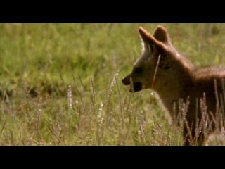 BBC Ребятам о зверятах Маленькая газель Томпсона Тэнни