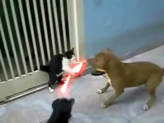 Кот джедай против питбуля