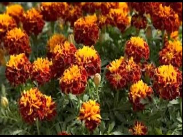 Цветы Бархатцы. Как выглядят Бархатцы (Tagetes)