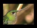 Ave Trochilidae Heliodoxa jacula Gould 1850 Green crowned Brilliant Colibrí gorrión