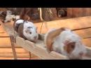 Guinea Pig Bridge at the Nagasaki Bio Park song by Parry Gripp