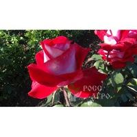 Роза чайно гибридная Люксор