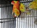 RUBINIO and RED SUFFUSION LOVE BIRDS OF SYED OVAIS BILGRAMI