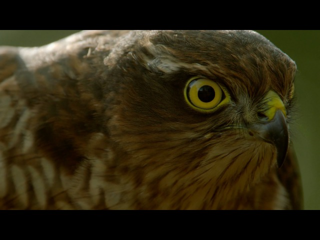 How sparrowhawks catch garden birds - Life in the Air Episode 2 Preview - BBC One