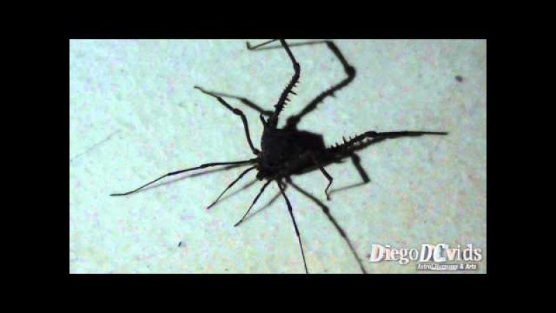 Opilião arachnids harvestmen Opiliones Laniatores Gonyleptidae