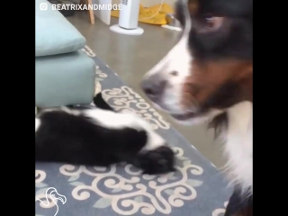 The Dodo - Dogs New Kitten Is Super Annoying And Lovable