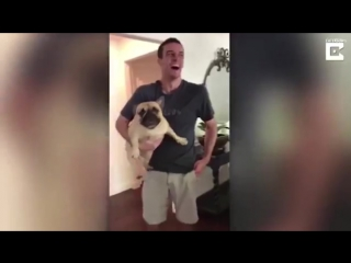French bulldog makes high pitched squeal when he cant go for walk