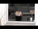 Панда в ужасе. _ Red Panda Baby surprise_ - 163893691.mp4