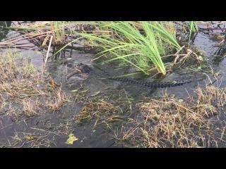 Крокодилы, Жители Флориды / inhabitants of Florida, crocodile -2