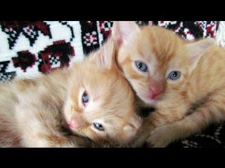 Рыжие котозверики подрастают (мелкоте месяц от роду). Хозяева и Хозяюшки, мы вас ждём!