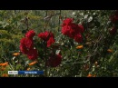 Дачница из Вологодского района выращивает на своем участке 150 видов роз