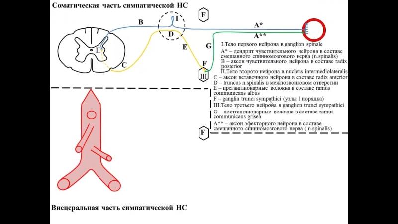 Строение вегетативной симпатической рефлекторной дуги проф В А Изранов