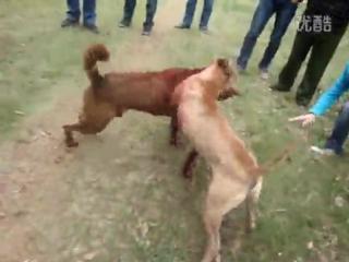 Рабочий питбуль VS Рабочий Шарпей (Китай) первый тест собак