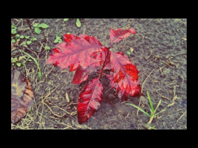 Бонсай из красного дуба Bonsai red oak