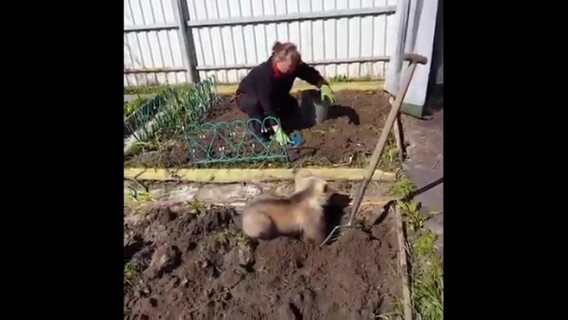 На выходные в России все едут на дачи сажать картошку Медведи активно помогают россиянам Обычное дело