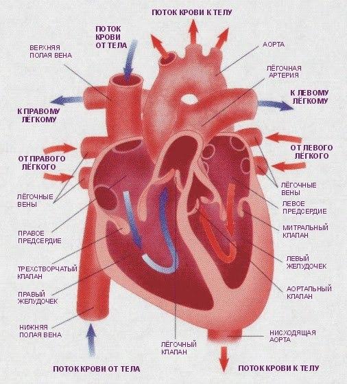 Факты о сердце, изображение №1