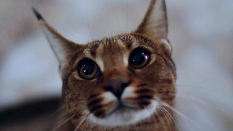 Как в пригороде Барнаула выводят самую редкую породу кошек в мире