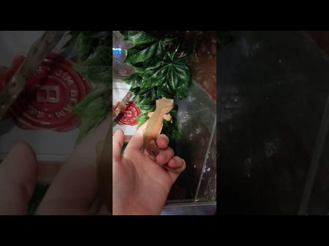 Рэд биколор реснитчатый бананоед