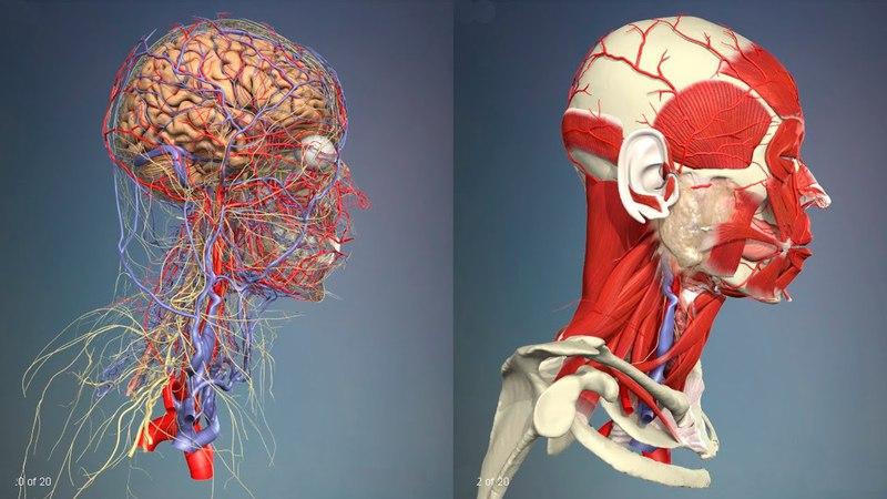 3D Анатомия человека - голова и шея, со стороны 3d fyfnjvbz xtkjdtrf - ujkjdf b itz, cj cnjhjys