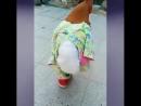 Петух-модник