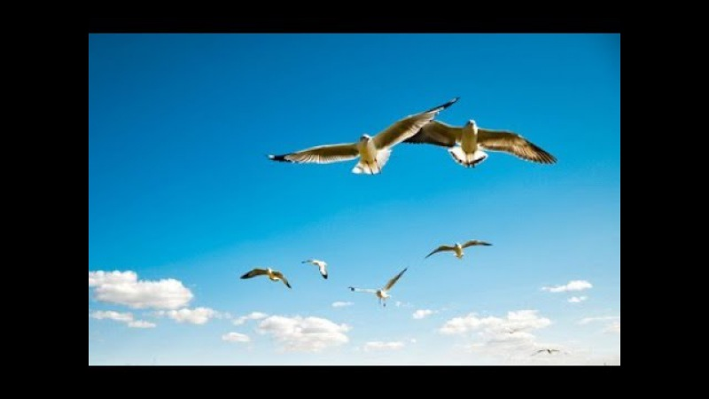 Птица Музыка Сергея Чекалина Bird Music of Sergei Chekalin 鳥。 セルゲイ・チェカリンによる音楽。