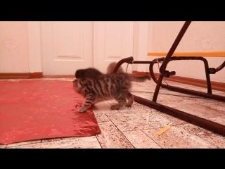 Продам вислоухих и с ровными ушками шотландских котят