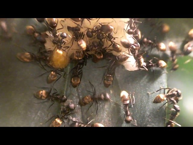 Мои муравьи- Camponotus leonardi.