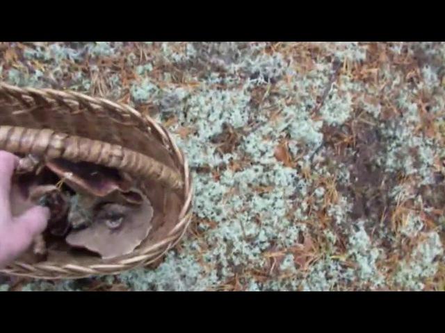 ежовик пёстрый лечебный гриб