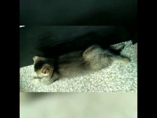 Спят усталые котятки )  питомник шотландских кошек