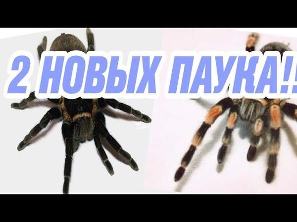 2 НОВЫХ ПАУКА | Brachypelma vagans и Brachypelma smithi